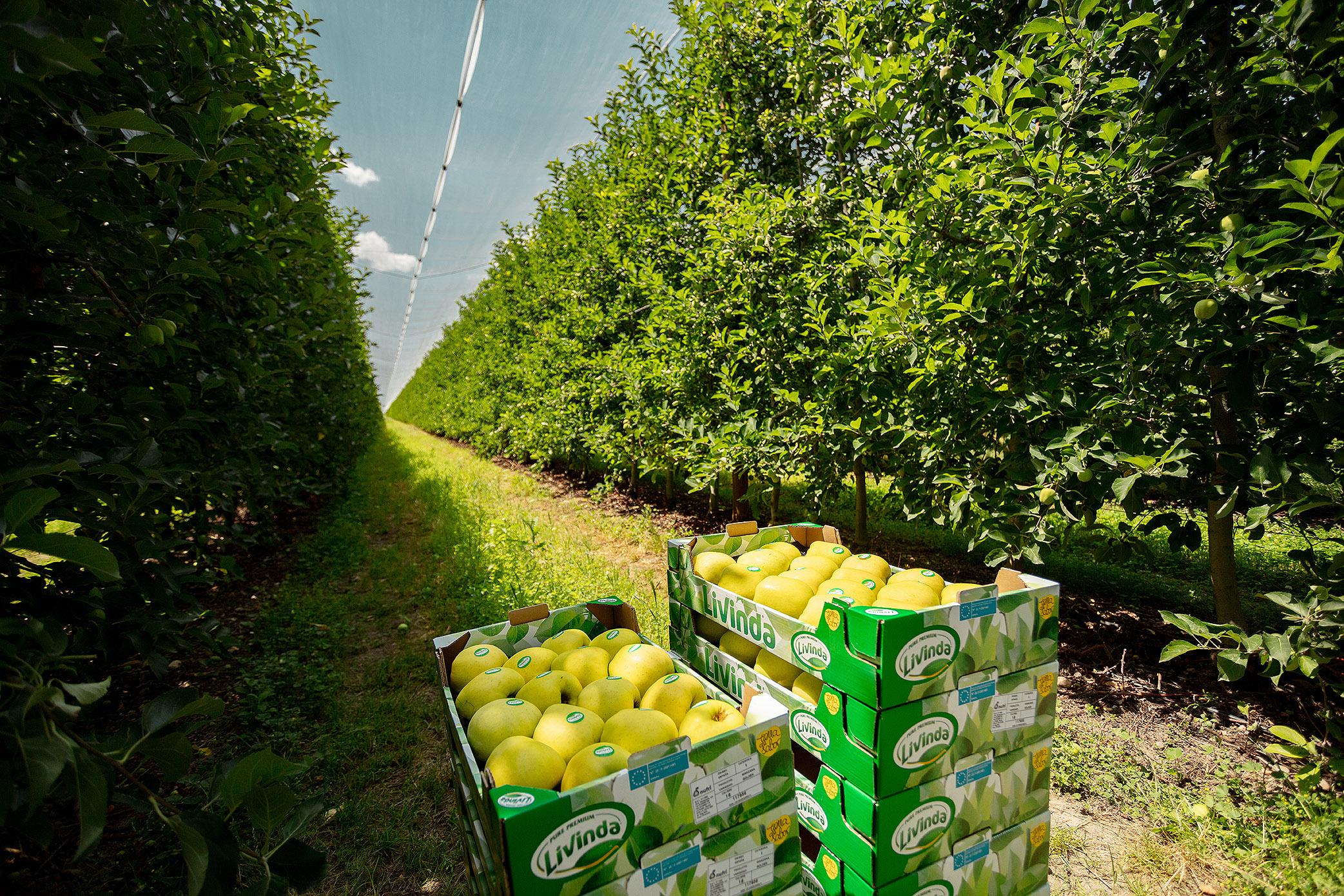 Imatges de pomes de la marca Livinda que Nufri ha començat a collir a les seva finca de la Rasa, a Sòria. Imatge del 23 d'agost del 2018. (Horitzontal)