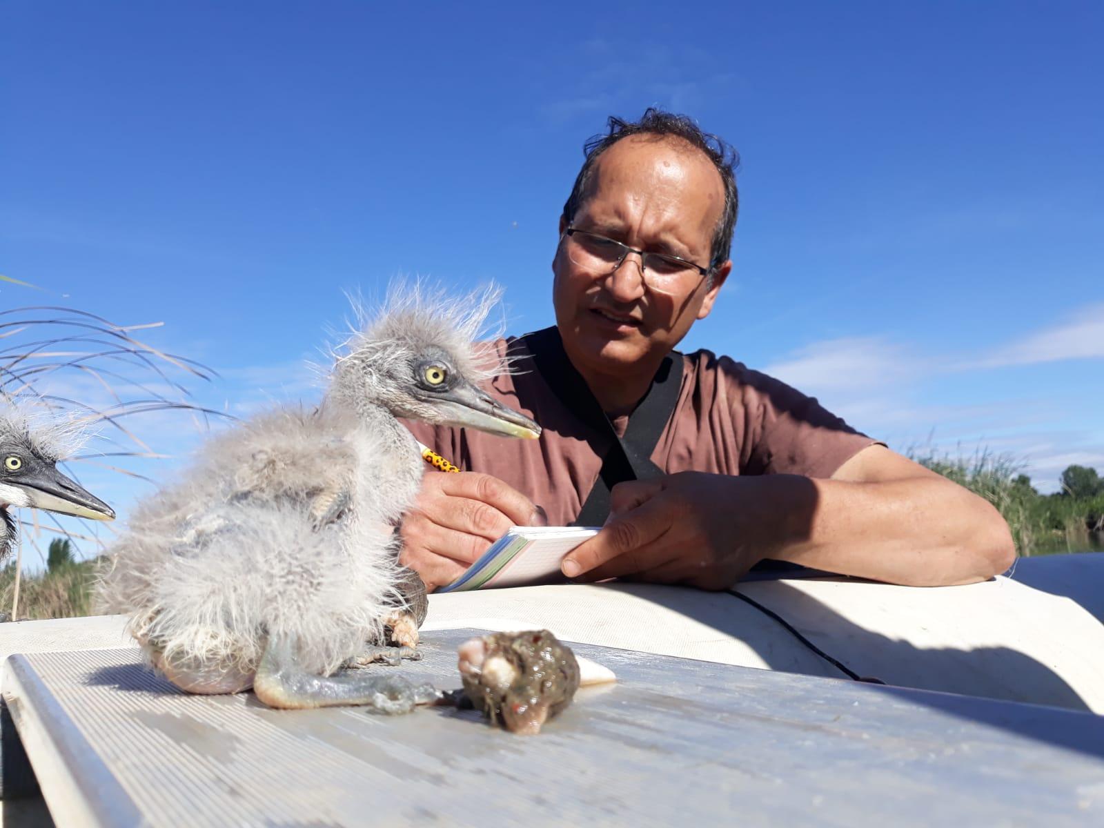 Pla mitjà on es pot veure Josep Garcia, tècnic del Zoo de Barcelona, fent el monitoratge de bernat pescaire a l'estany d'Ivars i Vila-sana, el 10 de maig de 2019. (Horitzontal)