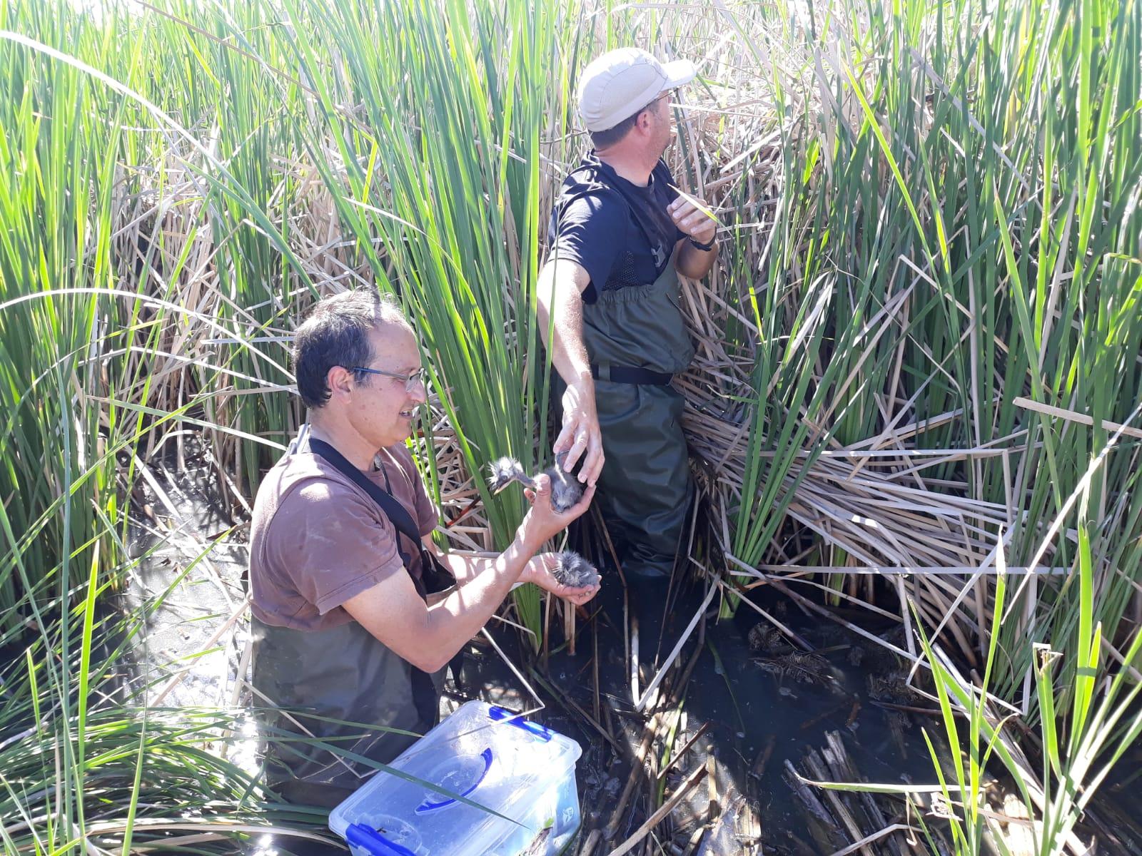 Pla obert on es pot veure un moment del monitoratge de bernat pescaire a l'estany d'Ivars i Vila-sana, el 10 de maig de 2019. (Horitzontal)