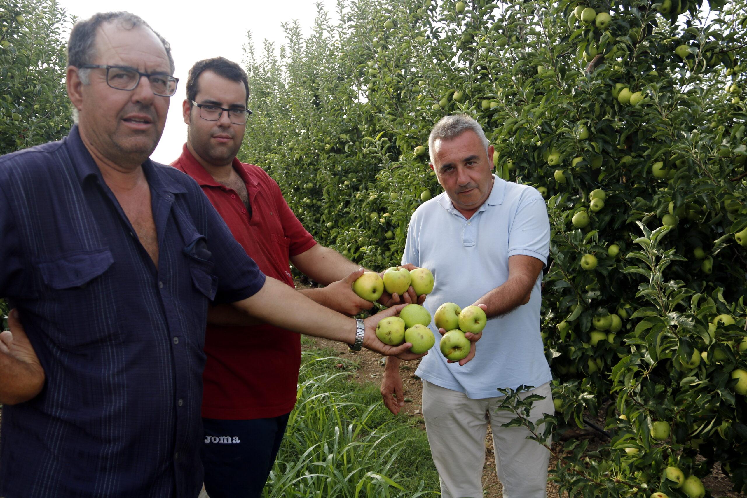 Pla obert on es poden veure dos pagesos a Vila-sana mostrant pomes danyades per la pedra acompanyats de president d'Asaja, Pere Roqué, el 27 d'agost de 2019. (Horitzontal)