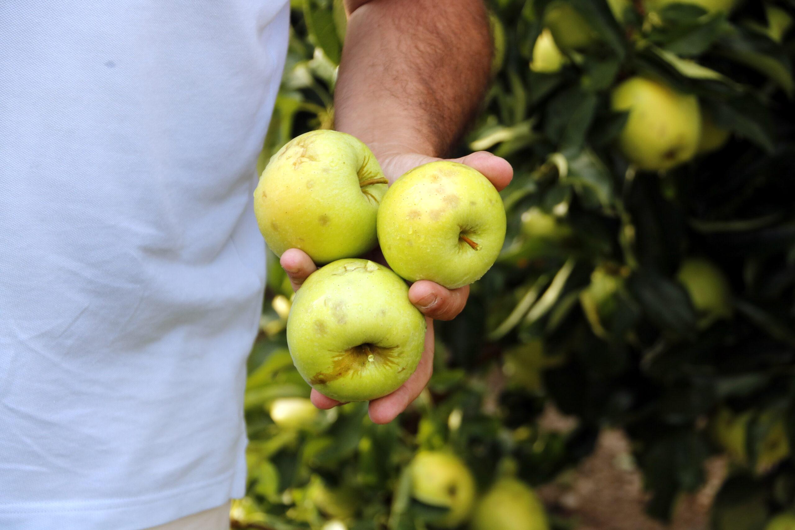 Pla mitjà on es poden veure tres pomes danyades per la pedra en una explotació de Vila-sana, el 27 d'agost de 2019. (Horitzontal)