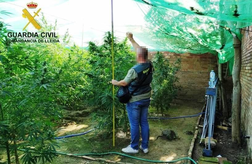 Pla obert on es pot veure un agent de la Guàrdia Civil al costat de la plantació de marihuana localitzada als Arcs, a Bellvís, el 27 d'agost de 2019. (Horitzontal)