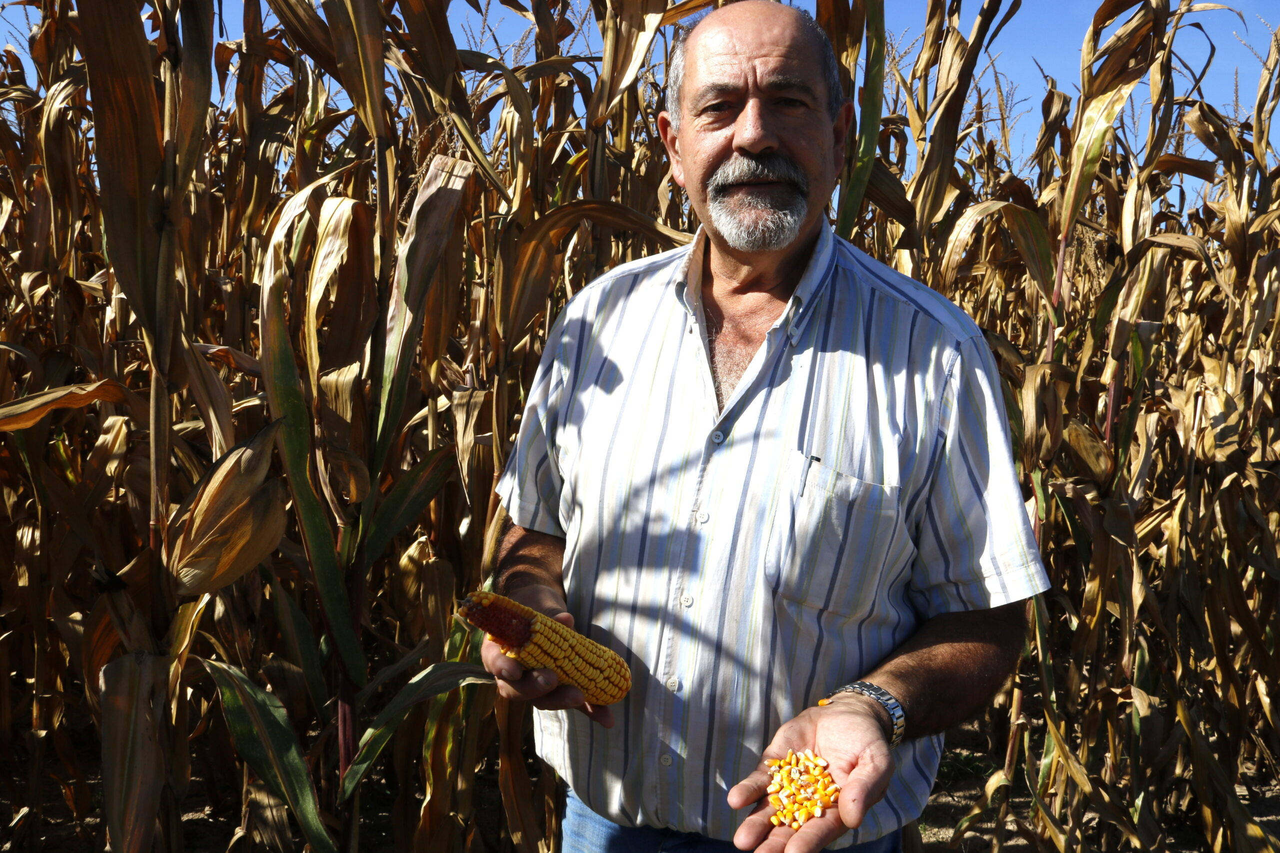 Pla mitjà on es pot veure el president de la Cooperativa de Linyola, Jaume Pedrós, mostrant el gra de panís en una de les seves finques, el 8 d'octubre de 2019. (Horitzontal)