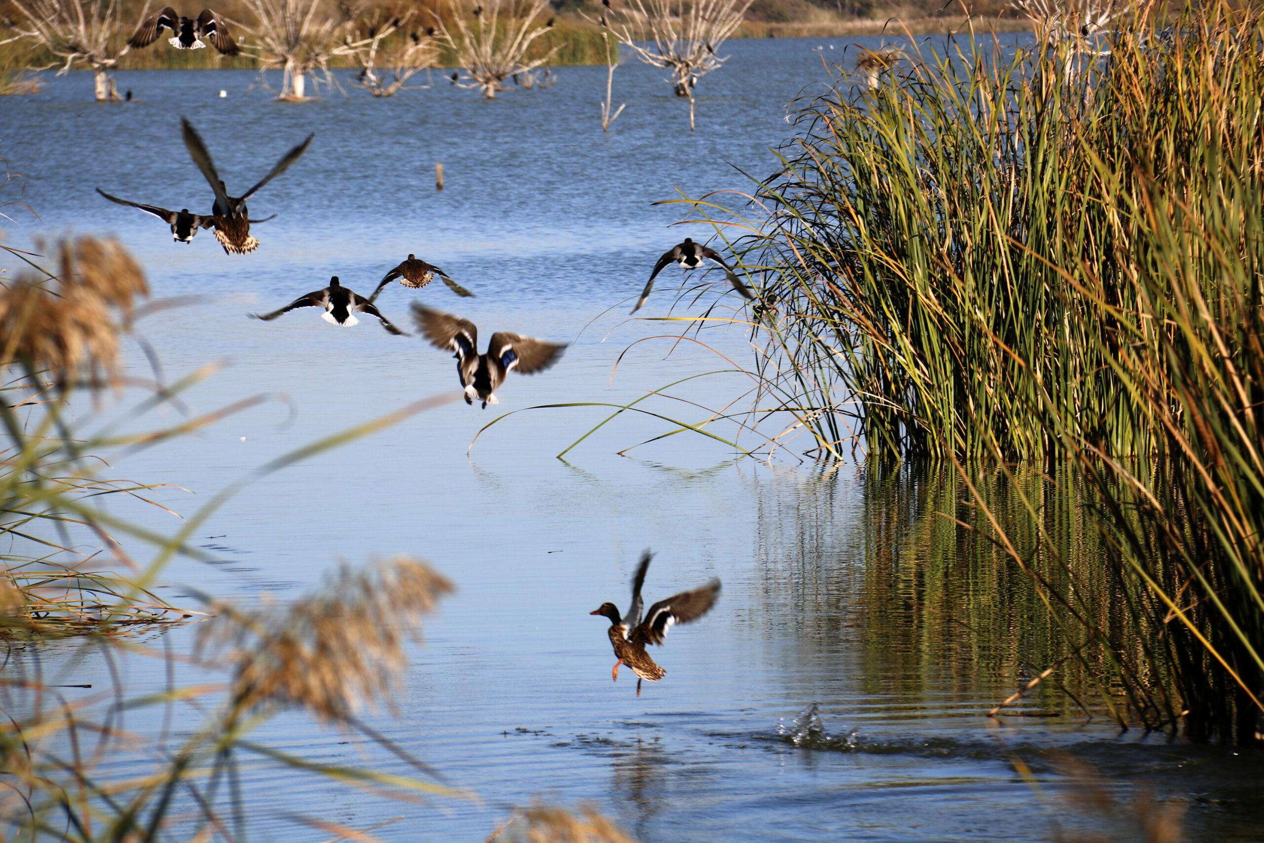 Pla mitjà on es poden veure diversos ànecs a l'estany d'Ivars i Vila-sana, l'octubre de 2018. (Horitzontal)