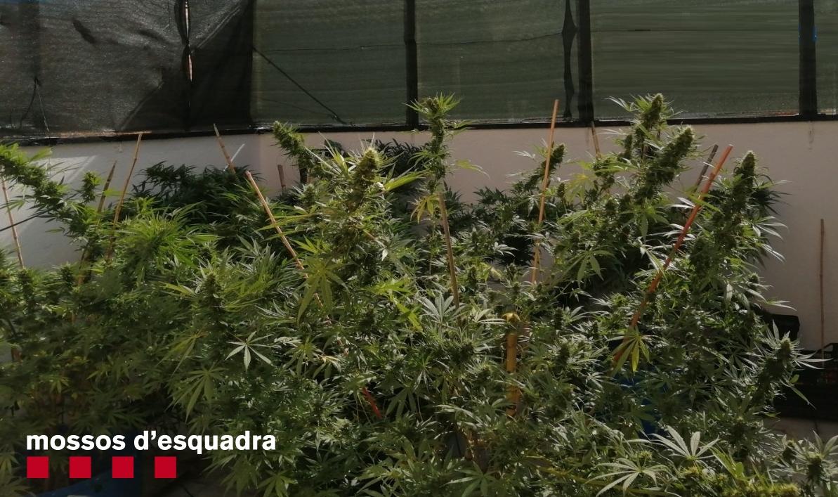 Pla de detall de la marihuana comissada en dos domicilis de Golmés. Imatge dels Mossos d'Esquadra facilitada el 24 de setembre de 2020 (Horitzontal).