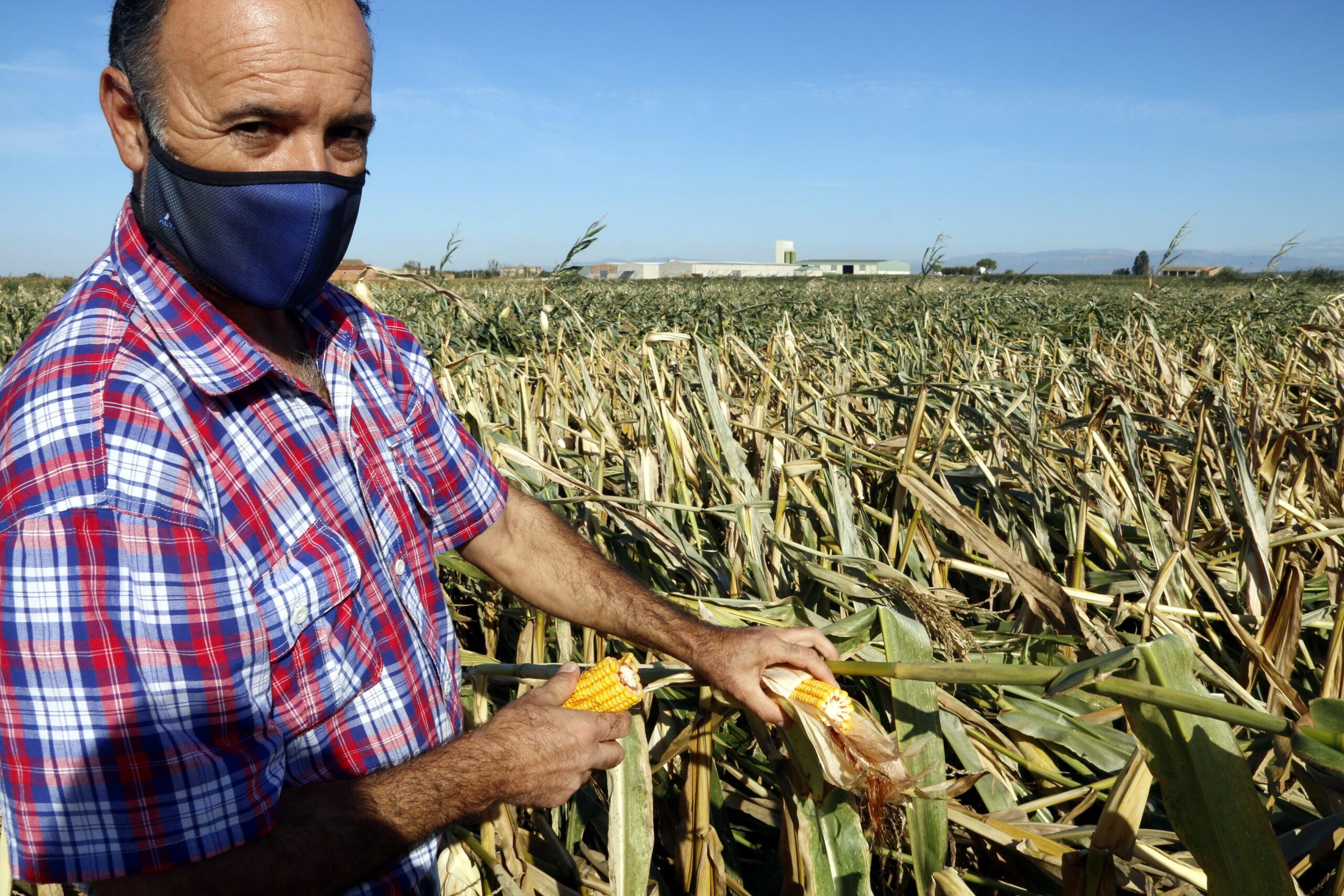 Pla mitjà on es pot veure Josep Petit, pagès de Vila-sana, mostrant una pinya de panís d'una finca afectada per les fortes ventades, el 28 de setembre de 2020. (Horitzontal)