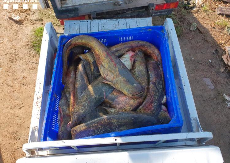 Desmantellada una xarxa de pesca furtiva a Lleida amb la identificació de sis persones i el comís de 280 quilos de peix