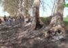 Indignació pels incendis que han afectat uns setanta arbres de la banqueta del Palau d'Anglesola