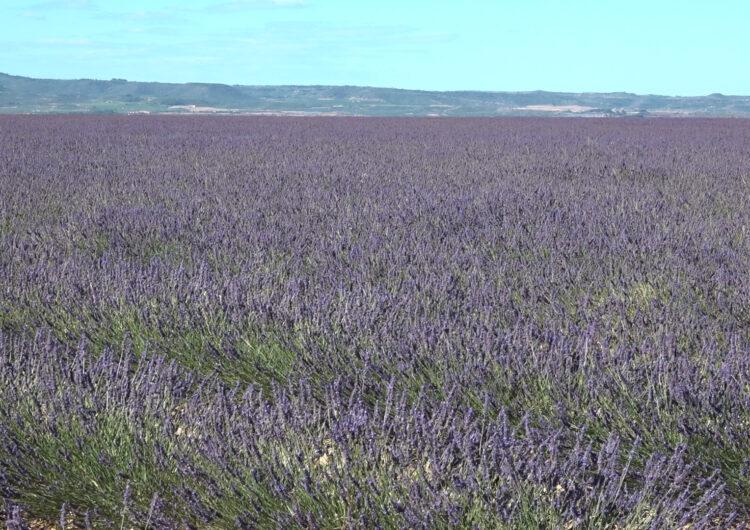 Plantació de lavanda en plena floració al Pla d'Urgell