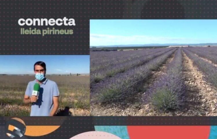Connecta Lleida Pirineus 28/6/21: Plantació de lavanda al Pla d'Urgell