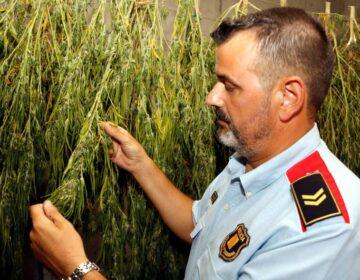 """Els Mossos alerten d'un augment """"exponencial"""" de plantacions de marihuana a Ponent controlades per grups criminals"""